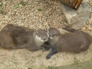 Otters who love each other