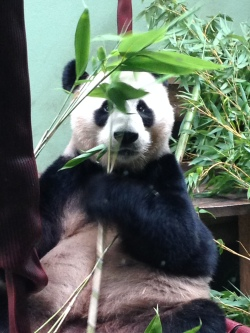 Giant panda at Edinburgh Zoo