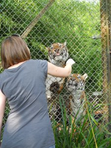 Meeting the tigers at Port Lympne, Kent