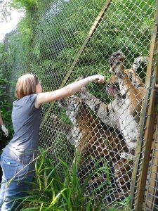 Tiger encounter at Port Lympne, Kent