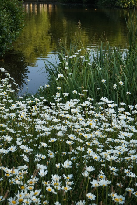 Daisies in St James's Park, London